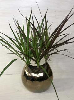 Copper Crescent Dracaena