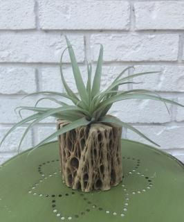 "5"" Air Plant + Cholla Wood Stand"