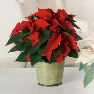 Classic Poinsettia - Medium