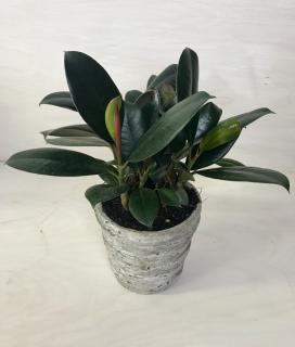 Rustic Rubber Plant