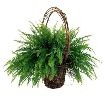 Faithful Fern Plant
